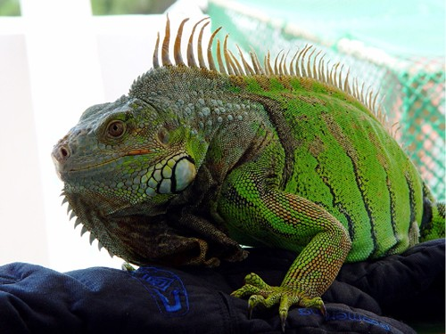 Green or common iguana basic information sheet
