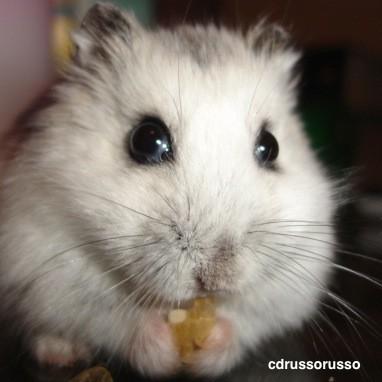 Basic Information Sheet: Hamster | LafeberVet