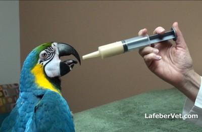 Hand feeding a macaw