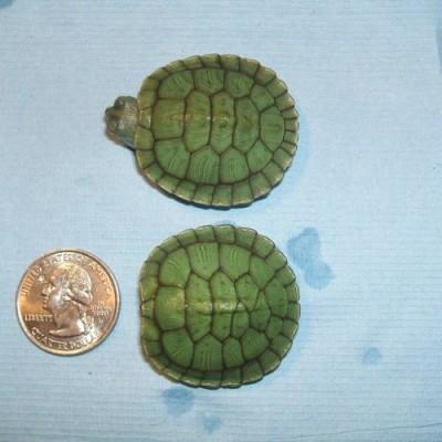 Jeune tortue trachemys à tempe rouge