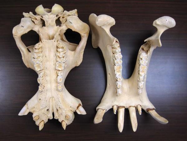 Vista mandibular de los incisivos masivos horizontales y de los caninos en una hembra de hipopótamo común