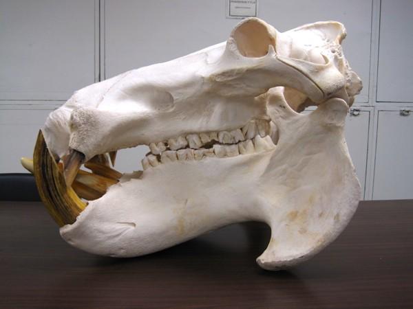 Vista lateral del cráneo de un hipopótamo común macho con los colmillos enormes formados por los caninos inferiores