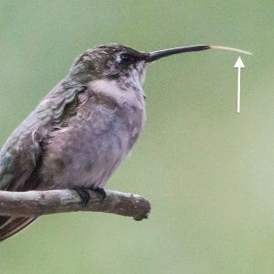 Hummingbirds possess tubular tongues (arrow).