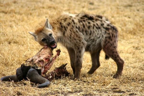 Una hiena en las llanuras del Serengeti crujiendo huesos.