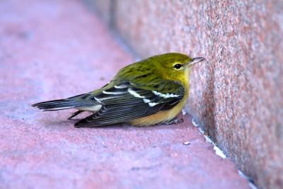 Injured songbird