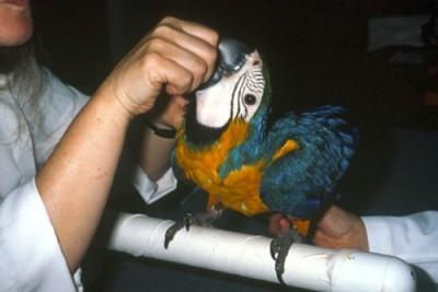 Juvenile macaw exam