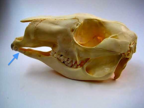 Vista maxilar y mandibular de la dentición de un canguro rojo mostrando los típicos incisivos horizontales alargados inferiores