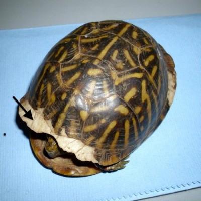 Flèche pointant vers une zone où la kératine a s'est détaché de la carapace dans une tortue-boîte ornée