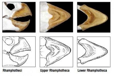 The keratinous beak or rhamphothecae of the loggerhead sea turtle