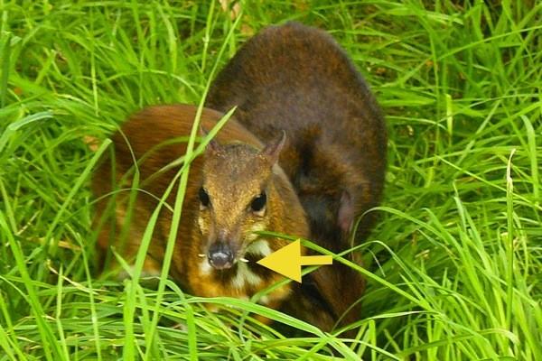Ciervo ratón de Java en el zoológico de Edimburgo
