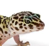 Basic Information Leopard Gecko