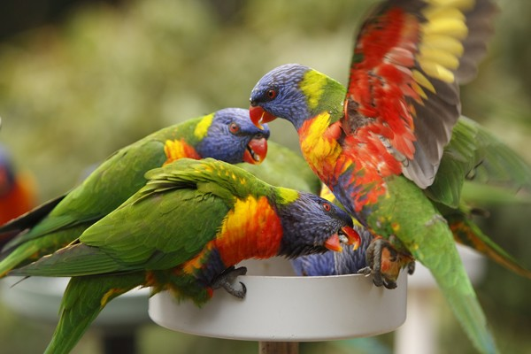 Basic Information Sheet for the Lory and Lorikeet