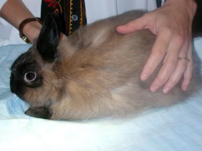 Most pet rabbits are medium-sized mammals.