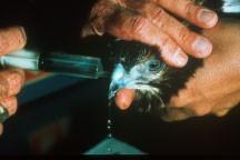 Nasal flush of an avian patient