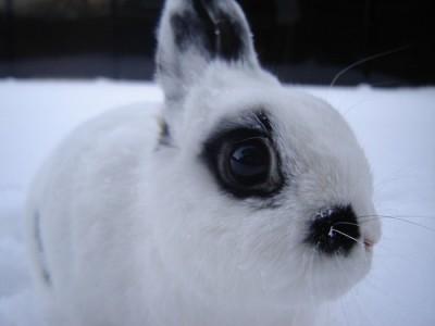 Purebred netherland dwarf rabbit