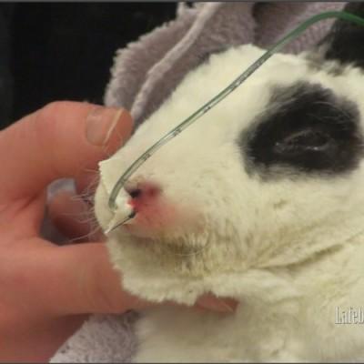 El tubo puede ser asegurado a la nariz utilizando cinta y sutura