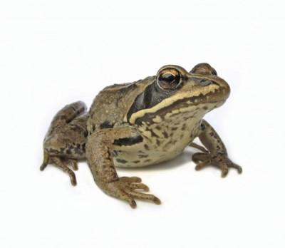 Una rana o sapo saludable se sienta con la cabeza en alto y las piernas flexionadas al lado del cuerpo