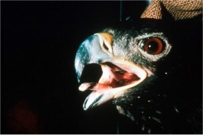 Raptor, open mouth breathing