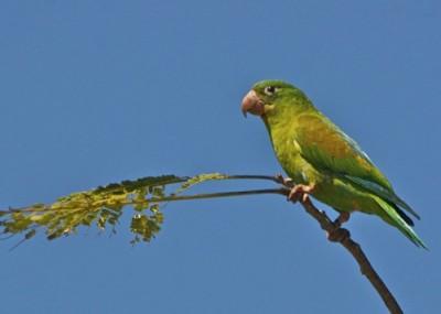 orange fronted parakeets