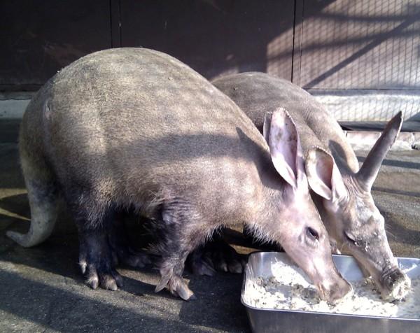 El cerdo hormiguero es el único miembro del orden Tubulidentata