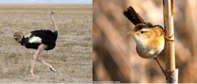 Ostrich and marsh wren