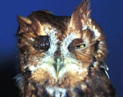 Screech owl suffering from head trauma