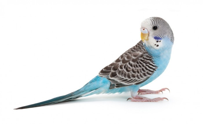 Basic Information Sheet: Parakeet | LafeberVet