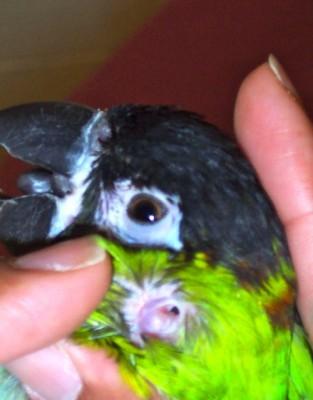 Parrot ear