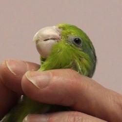 Parrot Restraint