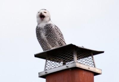 Snowy owl and short-eared owl