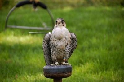 Full crop (arrow) in a peregrine-saker falcon hybrid
