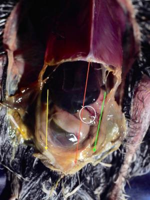 Peritoneal cavities of a passerine bird