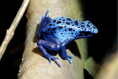 Poison dart frog information sheet