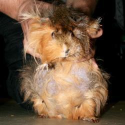Gravid Guinea Pig Handout