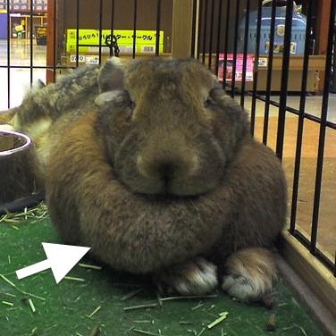 Rabbit dewlap (arrow)