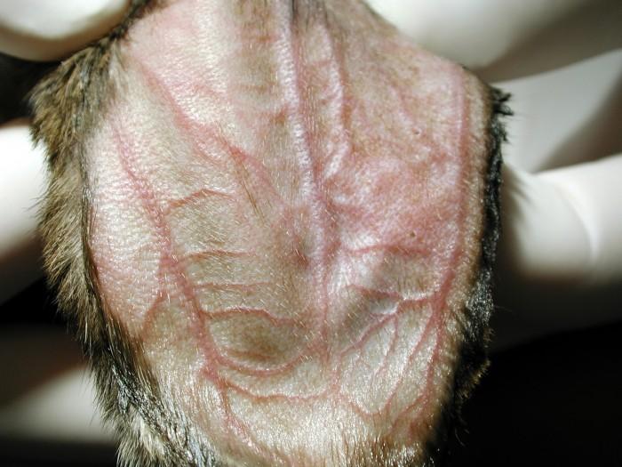 venipuncture in small mammals | lafebervet, Cephalic Vein