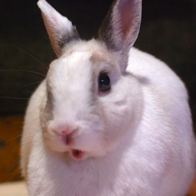 Presenting Problem Dyspnea In Rabbits Lafebervet