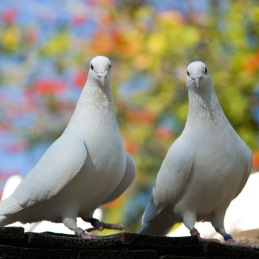 Pigeon Disease Primer | LafeberVet
