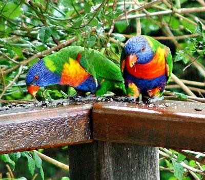 Loris arco iris comiendo semillas de girasol