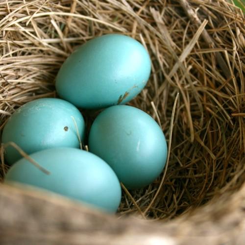 Los huevos del mirlo primavera