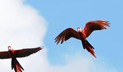 Scarlet macaws flying free in Honduras