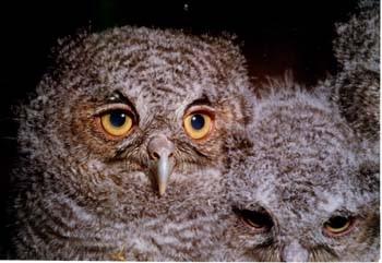 Screech owl nestlings