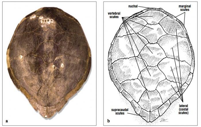 Sea Turtle Physical Examination Part 2 Lafebervet