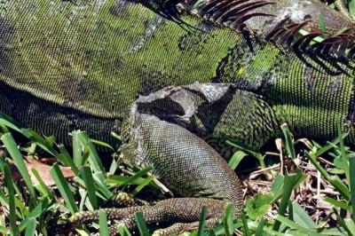 Shedding iguana skin