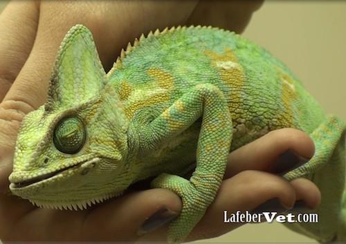sick chameleon LV