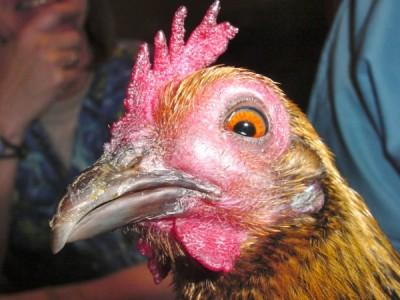 Sinusitis in the chicken