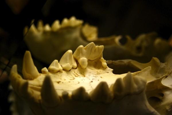 Los dientes devoradores de huesos de la hiena manchada
