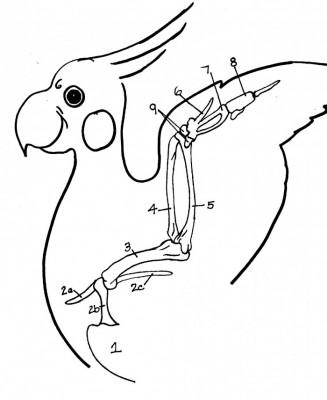 Thoracic limb of the bird