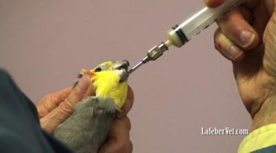 tube feeding cockatiel