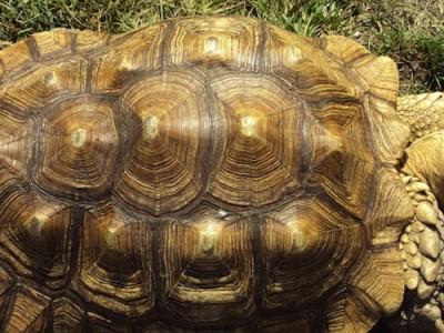 Croissance pyramidale d'une carapace de tortue